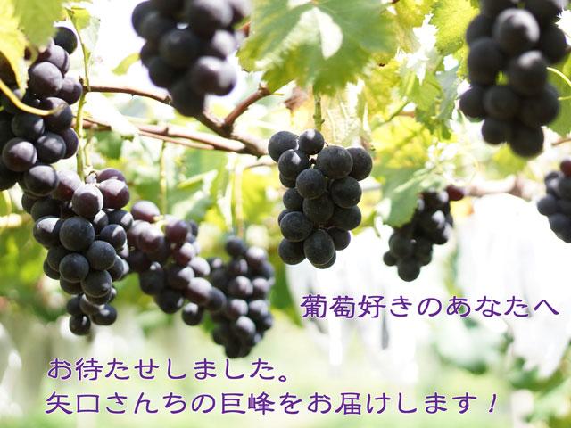 巨峰,葡萄,ぶどう,お彼岸,敬老の日,朝採り,収穫当日出荷,送料無料,ギフト