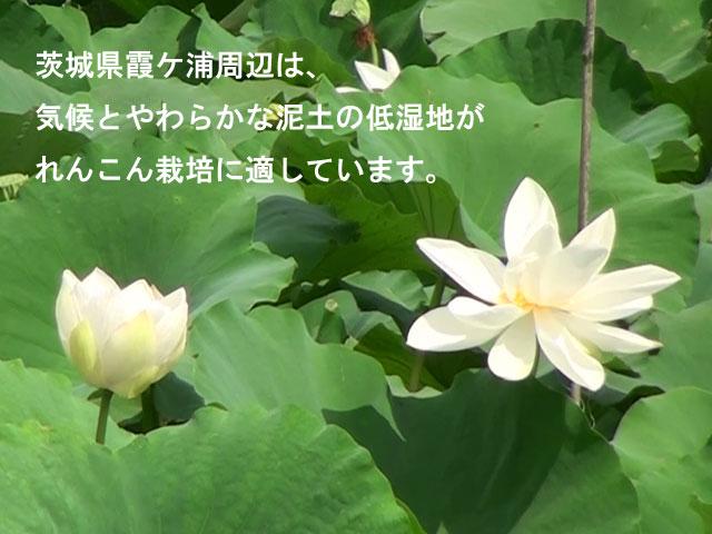 茨城県霞ヶ浦周辺は、気候とやわらかな泥土の低湿地がれんこん栽培に適しています