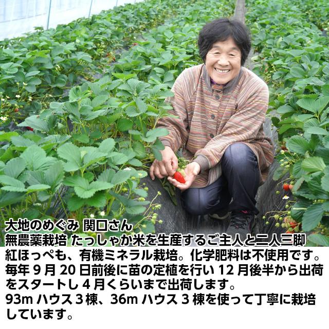 大地のめぐみ 関口さん。無農薬栽培 たっしゃか米を生産するご主人と二人三脚。紅ほっぺも、有機ミネラル栽培。化学肥料は不使用です。毎年9月20日前後に苗の定植を行い12月後半から出荷をスタートし4月くらいまで出荷します。93mハウス3棟、36mハウス3棟を使って丁寧に栽培しています。