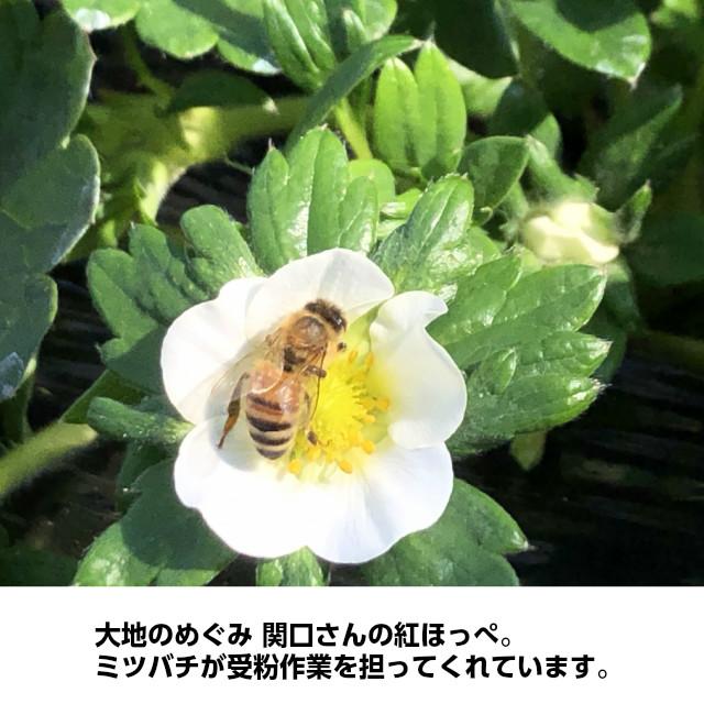 大地のめぐみ 関口さんの紅ほっぺ。ミツバチが受粉作業を担ってくれています。