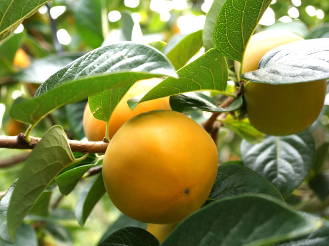 貴秋柿,鈴木さんちの柿