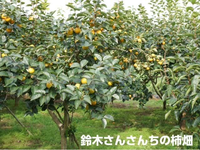 鈴木さんちの柿畑